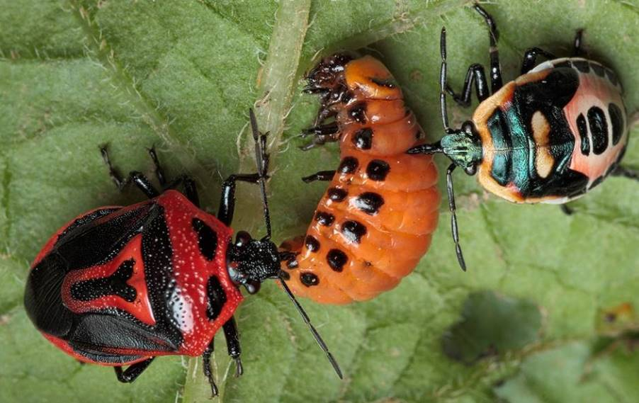 Все факты о колорадском жуке