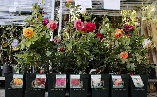 Как выбрать саженцы роз: советы специалистов
